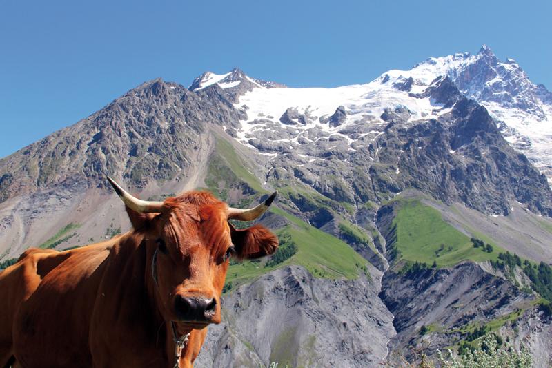 La Grave vache et montagne © cmielle